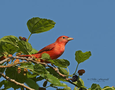 Summer Tanager Art Print by Mike Fitzgerald
