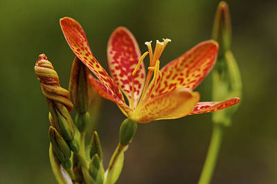 Photograph - Summer Treat - Blackberry Lily by Jane Eleanor Nicholas