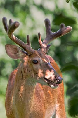 Whitetail Deer Photograph - Summer Velvet by Bill Wakeley