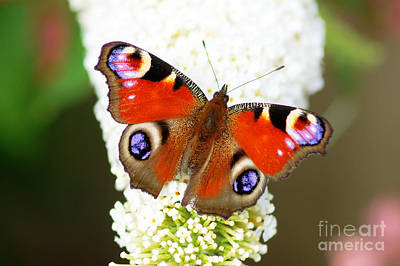 Photograph - Summer Visitor by David Birchall