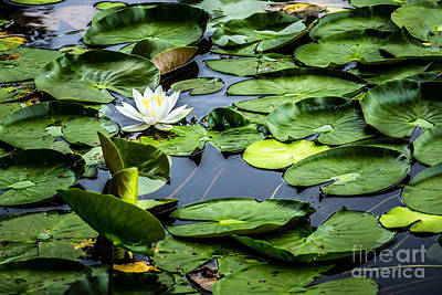 Fell Digital Art - Summer Water Lily 1 by Susan Cole Kelly Impressions