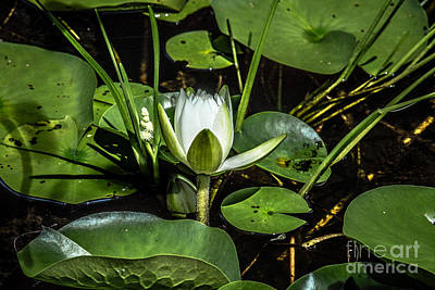 Digital Art - Summer Water Lily 2 by Susan Cole Kelly Impressions