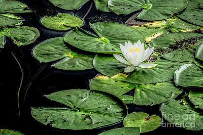 Fell Digital Art - Summer Water Lily 3 by Susan Cole Kelly Impressions