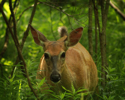 Photograph - Summer Whitetail 2 by Scott Hovind