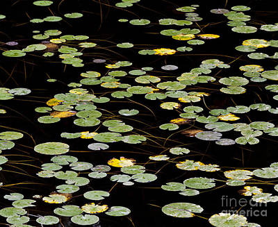 Photograph - Summer's End Lily Pads by Alan L Graham