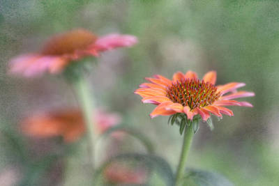Photograph - Summertime Cone Flowers by David and Carol Kelly
