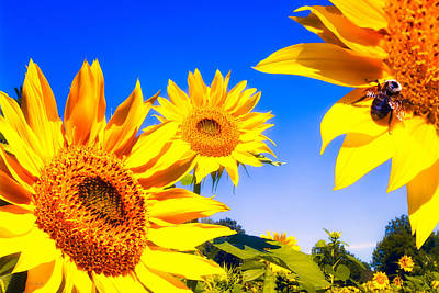 Photograph - Summertime Sunflowers by Bob Orsillo