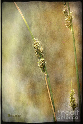 Print featuring the photograph Summr Grasses V by Chris Armytage