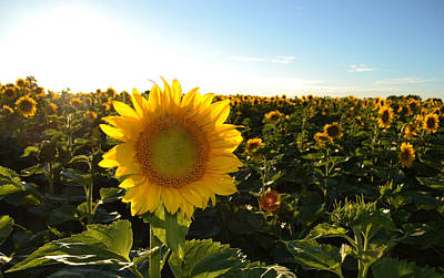 Sun And Sunflower 2  Art Print by Lyle Crump