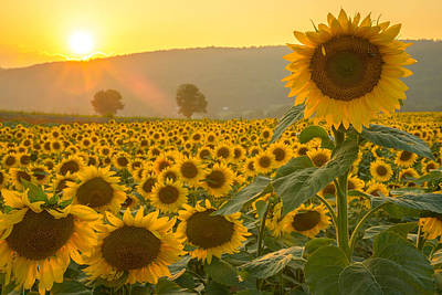 Photograph - Sun And Sunflowers by Mark Robert Rogers