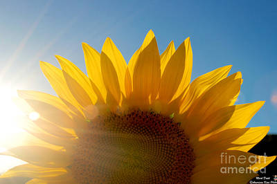 Photograph - Sun Bean In The Sunflower by Mark Dodd