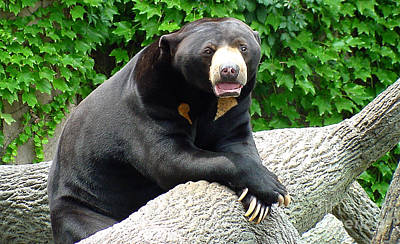 Gingrich Photograph - Sun Bear - 09515-1 by Gary Gingrich Galleries
