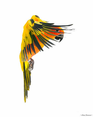 Photograph - Sun Conure In Flight by Avian Resources