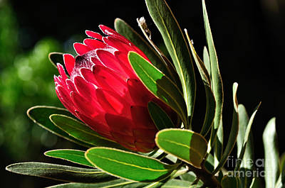Sun-filled Protea Art Print by Kaye Menner