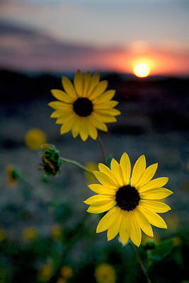Sunflowers Royalty-Free and Rights-Managed Images - Sun Flower 1 by Peter Tellone