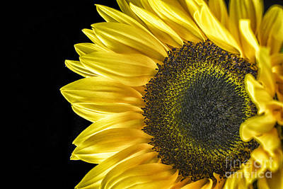 Photograph - Sun Flower 2 by David Haskett