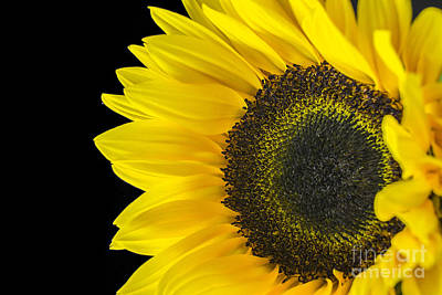 Photograph - Sun Flower 3 by David Haskett