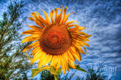 Sun Flower Art Print by Adrian Evans