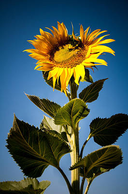 Photograph - Sun Flower Blooming  by Connie Cooper-Edwards