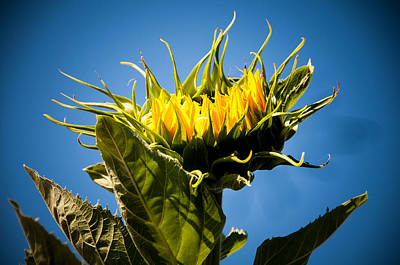 Photograph - Sun Flower Blooming Towards The Sun by Connie Cooper-Edwards