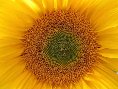 Photograph - Sun Flower Dream - No Border by John Shiron