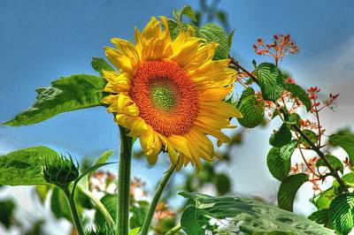 Sun Flower Art Print by Ed Roberts