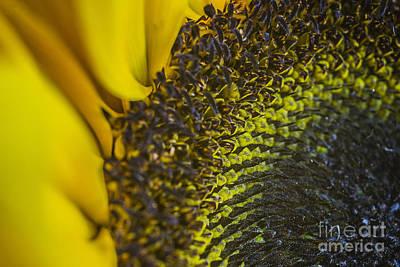 Photograph - Sun Flower Macro 1 by David Haskett II