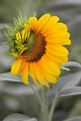 Art Print featuring the photograph Sun Flower by Nick Mares