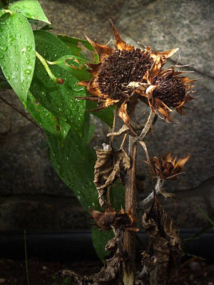 Photograph - Sun Flower Pods by Margie Avellino