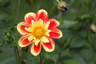 Photograph - Sun Flower by Dreamland Media