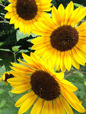 Photograph - Sun Flowers by Amber Summerow