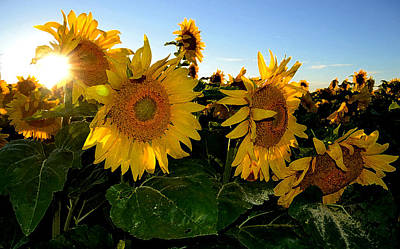 Sun Flowers And Pollen Wcae2  Art Print by Lyle Crump