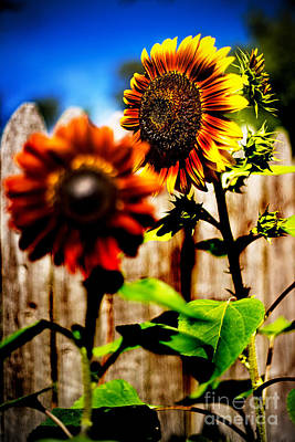 Sun Flowers Art Print by Randall  Cogle