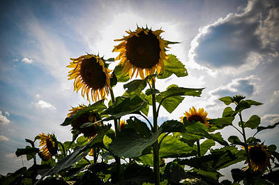 Sunflowers Royalty-Free and Rights-Managed Images - Sun Gods by Kristopher Schoenleber