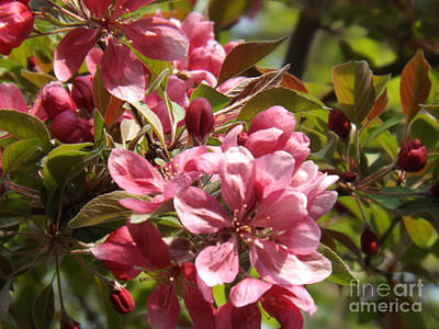 Photograph - Sun Kissed Crab Apple Blossoms by Brenda Brown