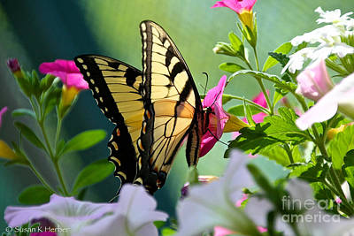 Photograph - Sun Kissed Wings by Susan Herber