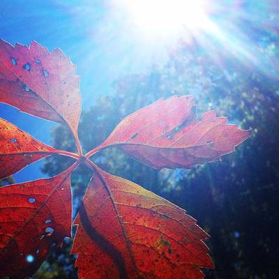 Photograph - Sun Leaf by Candice Trimble