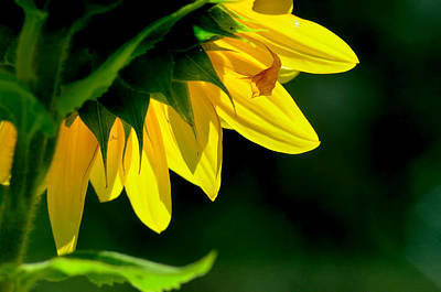 Sun Light Sunflower Original