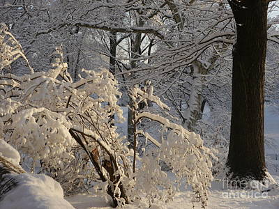 Sun On Snow Covered Branches Art Print