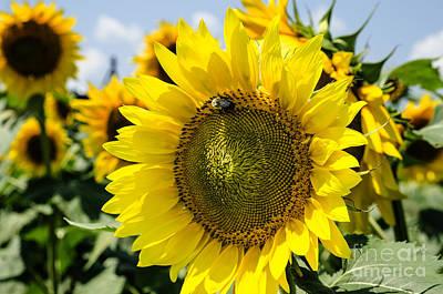 Photograph - Sun On The Sunflower by Paul Mashburn