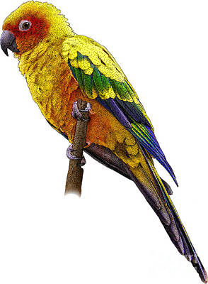 Photograph - Illustration Of Sun Parakeet by Roger Hall