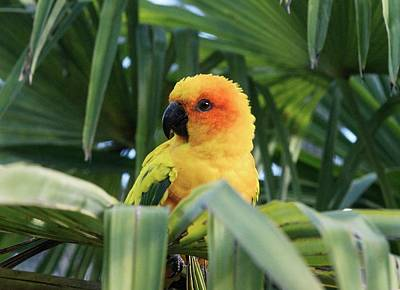 Parakeet Wall Art - Photograph - Sun Parakeet In A Palm Tree by Brian Gadsby/science Photo Library
