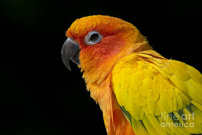 Photograph - Sun Parakeet by Meg Rousher
