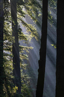 Photograph - Sun Rays At Redwood National Park by Vishwanath Bhat