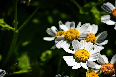 Photograph - Sun Shining Daisies by Ms Judi