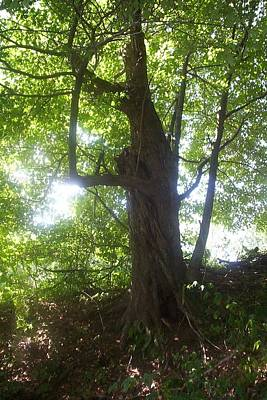 Photograph - Sun Through Old Maple Tree by Diane Mitchell