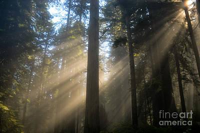 Sun Through The Redwoods Art Print