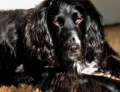Photograph - Sprocker Spaniel Sunbather by Kristina Deane