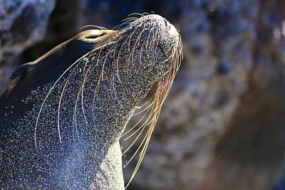 Sunbathing Galapagos Sea Lion Art Print