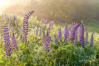Photograph - Sunbeams And Lupines by Susan Cole Kelly